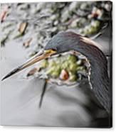 Tri Colored Heron Profile Canvas Print