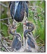 Tri-colored Heron With Chicks Canvas Print