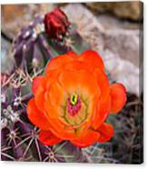 Trichocereus Cactus Flower  Canvas Print
