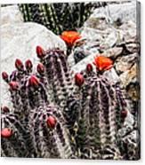 Trichocereus Cactus Flowers Canvas Print