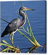 Tricolored Heron At The Pond Canvas Print