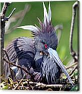 Tricolored Heron Female Incubating Eggs Canvas Print