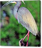 Tricolored Heron In Breeding Plumage Canvas Print