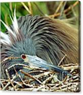Tricolored Heron Incubating Eggs Canvas Print