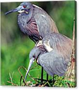 Tricolored Heron Male And Female At Nest Canvas Print
