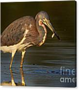 Tricolored Heron With Fish Canvas Print
