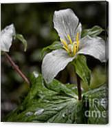 Trillium - After The Rain Canvas Print