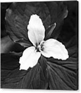 Trillium In Black And White Canvas Print
