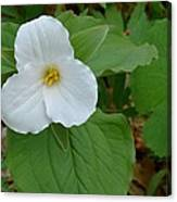 Trillium Near The River Canvas Print