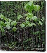 Trilliums Grow Deep Inside Forest Canvas Print