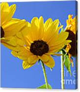 Trio In The Sun - Yellow Daisies By Diana Sainz Canvas Print