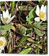 Trio Of Bloodroot Flowers Canvas Print