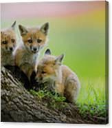 Trio Of Fox Kits Canvas Print