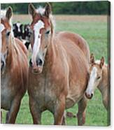 Trio Of Horses 2 Canvas Print