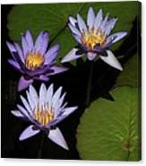 Trio Of Purple Water Lilies Canvas Print