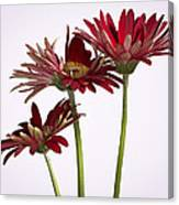 Trio Of Red Gerbera Daisys Canvas Print