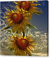 Trio Of Sunflowers Canvas Print