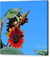 Triple Red Sunflowers Canvas Print