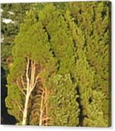 Triple Trees Canvas Print