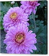 Triplets Of Purple Mums Canvas Print