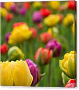 Triumphant Tulips Canvas Print