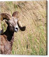 Trophy Bighorn In The Grass Canvas Print