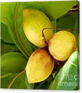 Tropical Almond Canvas Print