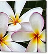 Tropical Maui Plumeria Canvas Print