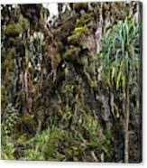 Tropical Mountain Forest, Rwenzori Canvas Print