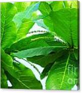 Tropical Noni Leaves Canvas Print