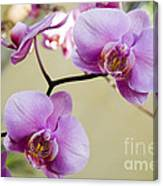 Tropical Radiant Orchid Flowers Canvas Print