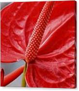 Tropical Red Anthurium Canvas Print