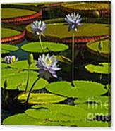 Tropical Water Lily Flowers And Pads Canvas Print