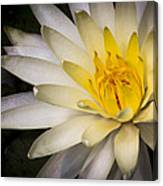 Tropical White Water Lily Canvas Print