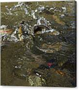 Trout Feeding Surface Rainbow Trout Art Prints Canvas Print