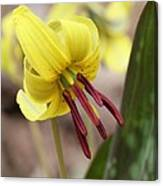 Trout Lily Or Dog-toothed Violet Canvas Print