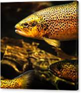 Trout Swiming In A River Canvas Print