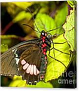 True Cattleheart Butterfly Canvas Print