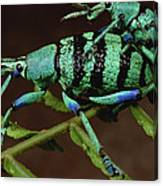 True Weevil Couple Mating Papua New Canvas Print