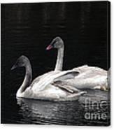 Trumpeter Swan Cygnets Canvas Print