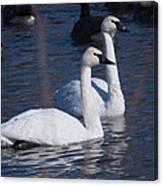 Trumpeter Swan Pair Canvas Print