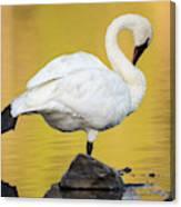 Trumpeter Swan Preening, Cygnus Canvas Print