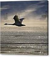 Trumpeter Swan Silhouetted In Flight Canvas Print