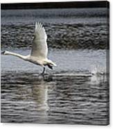 Trumpeter Swan Walking On Water Canvas Print