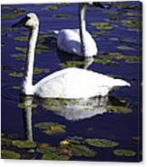 Trumpeter Swans In The Blue Canvas Print