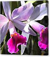 Trumpeting Purple Cattleya Orchids Canvas Print