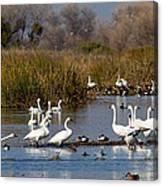 Trunda Swans  Mixed Ducks Canvas Print