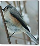 Tufted Titmouse Male Canvas Print