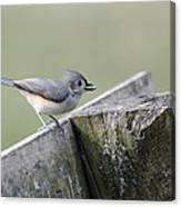 Tufted Titmouse With Seed Canvas Print