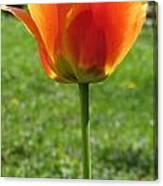 Tulip Backlit 14 Canvas Print